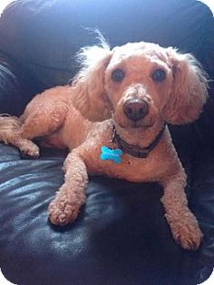San Pedro, CA - Poodle (Miniature). Meet Kody, a dog for adoption. http://www.adoptapet.com/pet/13349974-san-pedro-california-poodle-miniature