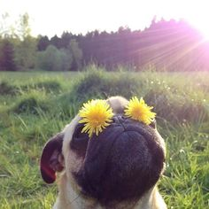 Vines of funny pets. Pugs are fantastic. Vines of funny dogs. Pugs are amazing. Amor Pug, Pug Love, I Love Dogs, Raza Pug, Funny Animals, Cute Animals, Animal Memes, Cute Pugs, Dog Photography