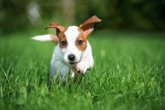 Jack Russell Terrier Puppies: Cute Pictures And Facts - Dogtime Small Dog Breeds, Small Dogs, Puppy Pictures, Cute Pictures, Fun Personality Quizzes, Fun Quizzes, Terrier Puppies, Jack Russell Terrier, Animales