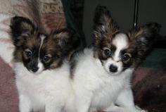 Past MerryMaker puppies