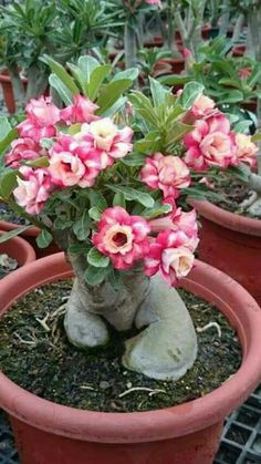 Desert Rose Seeds Potted Flowers Seeds Adenium Obesum Color Optional True Seed In-Kind Shooting 5 Particles/ lot Desert Rose Samen Topfblumen Samen Adenium Obesum Farbe Optional True Seed In-Kind Shooting 5 Partikel / Los. Colorful Plants, Unusual Plants, Exotic Plants, Bonsai Seeds, Bonsai Plants, Cacti And Succulents, Planting Succulents, Potted Flowers, Dessert Rose Plant
