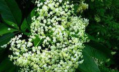 beneficiile-florilor-de-soc
