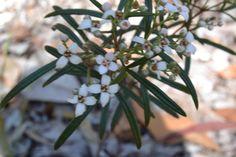 Zieria Laxiflora Native Plants, National Parks