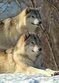 Beautiful Dark Art, Beautiful Wolves, Animals Beautiful, Large Animals, Animals And Pets, Cute Animals, Wolf Mates, Wolf Album, Wolf Population