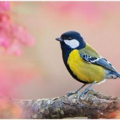 Titmouse Bird Wallpaper | titmouse bird wallpaper 1080p, titmouse bird wallpaper desktop, titmouse bird wallpaper hd, titmouse bird wallpaper iphone