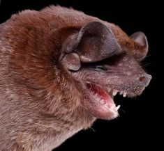 ONE Bat eats 1000 to 1200 mosquitos in one hour!!! Please support the only flying mammal now seriously threatened for survival with white nose fungus taking over caves.  ANY mammal can transmit rabies, and contrary to urban legends, dogs actually transmit rabies more often than bats.  Research how you can help the only flying mammal at batcon.org