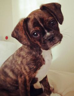 Buddy the Mixed Breed puppy - Oh, I just want to kiss that little face!