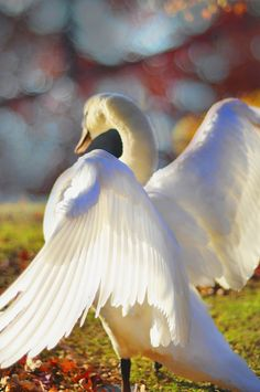 White swan: Angel wings against sunlight