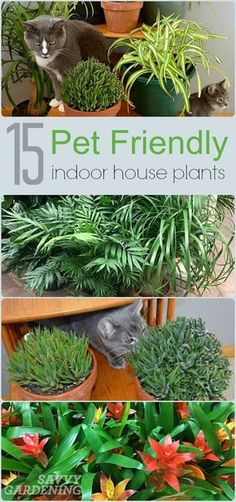 - House Plants - Plants and pets don't always get along, but some indoor plants can be downright . Plants and pets don't always get along, but some indoor plants can be downright dangerous. Avoid the risk by growing these pet friendly house plants. Cat Garden, Garden Plants, Herb Garden, Cactus Plants, Flowering House Plants, Air Plants, Vegetable Garden, Plants Toxic To Cats, Safe Plants For Cats