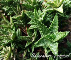 Vista superior de las rosetas de la planta Aloe juvenna