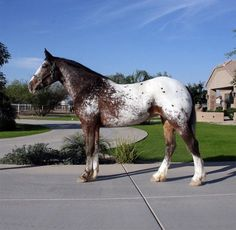 Appaloosa x Clydesdale