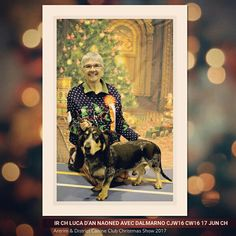 Antrim & District Canine Club Open Show 🏆 IR Ch LUCA d'An Naoned avec Dalmarno CJW16 CW16 17 Jun Ch Av Imported Register Open Dog / Bitch : 1st et Best Import Register Mâle Basset bleu de Gascogne ne le 26/04/15 (Hebe d'An Naoned x Frog d'An Naoned) Félicitations à Mme et Mr Webster ! [DALMARNO KENNEL]  #basset #bassetbleudegascogne #bbg #dogshow #dog #hundeschau #hund #cani #pet #doglovers #antrim #ireland #dogoftheday #luca