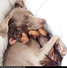 Weimaraner Harlow cuddles with her new pal and best friend Indi, a cute little Mini Dachshund. They both look so content and happy. This is too sweet ! ! !