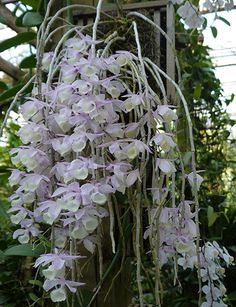 Dendrobium aphyllum grows in India, Myanmar, Thailand and south China at 200 to 1800 m in seasonally dry tropical forests.