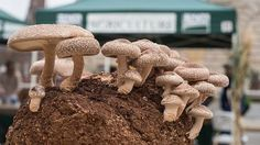 Most people who go in for mushroom growing just go out and buy both the spores (or spawn) and the growth medium. They do this because this is the easiest way to grow mushrooms. But if you are thinking of growing mushrooms commercially Growing Shiitake Mushrooms, Growing Mushrooms At Home, Edible Mushrooms, Stuffed Mushrooms, Wild Mushrooms, Fungi, Mushroom Spores, Mushroom Cultivation, Mushroom Varieties