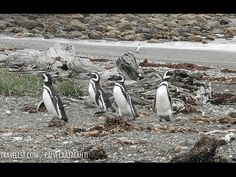 » Video: Magellanic Penguins of Patagonia, Chile