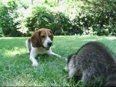Raccoon Willie & Crazy Beagle