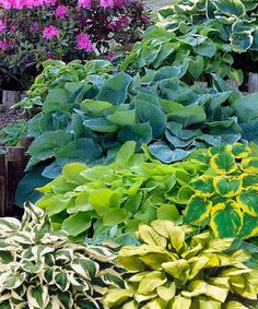 Hosta - Set of Three  If you have a shady space and don't have hostas...you are wasting it