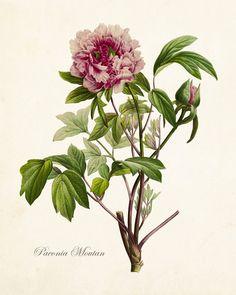 Paeonia Moutan No. 22 Botanical Print - Canvas Art Print