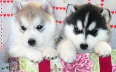 Baby Huskies with Blue Eyes | blue eyes siberian husky puppies for sale