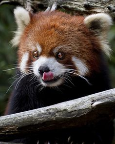 I think I have a Red Panda in my future...