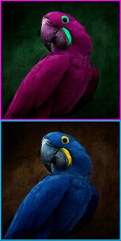 macaws do not come in the purple color shown at the top any