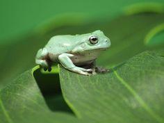 Green Animals, Cute Animals, American Green Tree Frog, Tattoo Plume, Dumpy Tree Frog, Frog Food, Frog Habitat, Whites Tree Frog, Pet Frogs