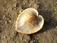 Heart Cockle (Corculum cardissa) Found this on Semakau Landfill. While most other clams have their valves flatten like plates, this clam has its opening of the valves cutting across the centre of the 'heart'!