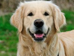 Golden retriever dieren