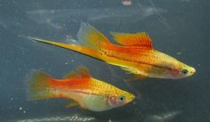 Swordtail Fish Pair for Sale Online Colorful Fish, Tropical Fish, Swordtail Fish, Live Aquarium Fish, Fish Breeding, Selective Breeding, Aquarium Ideas, Albino, Freshwater Aquarium