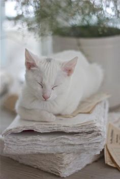our cat looked just like this, complete with grey spot on top of his head. after a few years old his grey spot went away