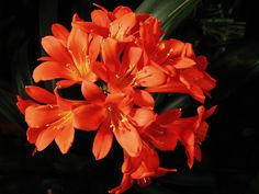 The kaffir lily is an undemanding and easy-to-grow bulb. While generally a slow grower, the plant will eventually become quite large, reaching around 2 feet tall. Read here to learn more about how to grow a kaffir lily plant.
