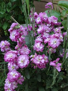 Growing stock flowers from seeds Stock Flower, Planting Seeds, Spring Garden, Growing Plants, Flowers, Seed Starting, Royal Icing Flowers, Flower, Florals