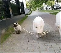 ACG • Amazing when 2 pigs take their friend the Cat for a little walk in the street