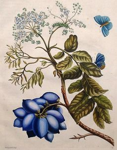 Plum Tree with Blue Moth - Maria Sibylla Merian Hand-colored copperplate engraving from Metamorphosis Insectorum Surinamensium Amsterdam: 1705 Paper size: 20 x 14 Later color Maria Sybilla Merian was b. Botanical Flowers, Botanical Prints, Sibylla Merian, Oriental Flowers, Nature Artists, Vintage Drawing, Plant Illustration, Botanical Drawings, Floral Illustrations