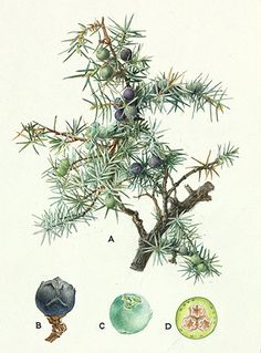 Juniper Botanical Illustrations // Natural History Museum