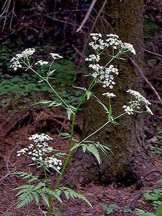 Koiranputki, Anthriscus sylvestris - Kukkakasvit - LuontoPortti