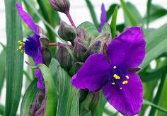 Tradescantia (Spiderwort). Perennial, grows well in partial to full shade.