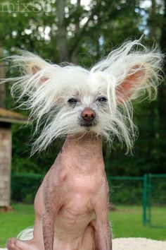 . Ugly Animals, Cute Animals, Beautiful Dogs, Animals Beautiful, Hairless Dog, Sphynx, Tuna Dog, Ugliest Dog Contest, Chinese Crested Puppy