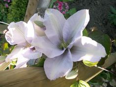 Clematis 'Silver Moon' - in the Moongarden, UK