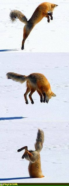 Snow Diving Fox via topknothcgear: When the fox strikes, he strikes with style. ' A red fox listens out for mice scurrying six feet beneath the snow before diving head first into the drift.' http://www.youtube.com/watch?v=dP15zlyra3c #Fox #Red_Fox #Snow_Dive