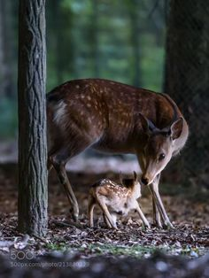Chital deer with newborn fawn trying to stand Mundo Animal, My Animal, Bear Animal, Nature Animals, Animals And Pets, Beautiful Creatures, Animals Beautiful, Hirsch Silhouette, Deer Photos