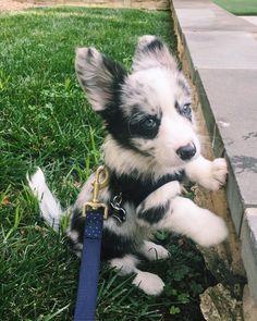 Fluffy Blue Merle Corgi Puppy