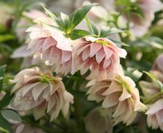Buy Lenten rose hellebore Helleborus × hybridus 'Harvington double lilac speckled': Delivery by Crocus.co.uk