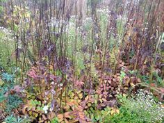 And again, in late autumn; dark chocolate brown stems & fiery tints of Sanguisorba contrast with the fluffy seed-heads of Aster sedifolius..