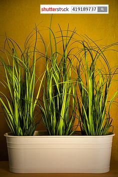 Three grasses in a pot.