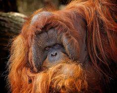 A portrait of Amos the Orangutan (C) by Erik Veldkamp / 500px