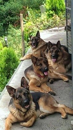 Large German Shepherd family
