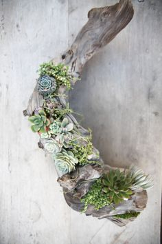 Infinite Succulent Driftwood Art Beautiful succulents planted into driftwood sustainably harvested from the Pacific Northwest. Succulent Wall, Succulent Terrarium, Planting Succulents, Succulent Centerpieces, Centrepieces, Driftwood Projects, Driftwood Art, Driftwood Planters, Hanging Planters