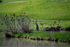 Great Blue Heron at the Well Fields in Saltville, Va.  One of my favorite native birds.